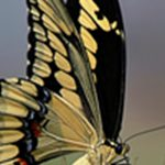 The 5 Largest Butterflies in the United States