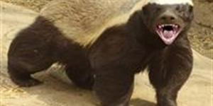 The Crazy Nastyass Honey Badger's Randall: Top 5 Tips for Viral Video Success