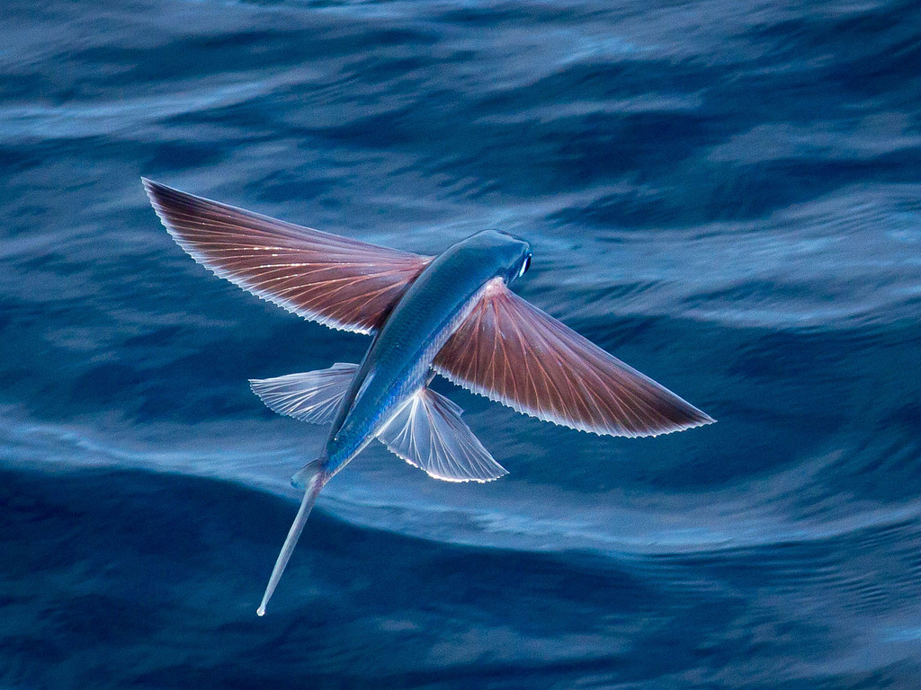"The Flying Fish holds the record for the ""longest flight"" by a fish"