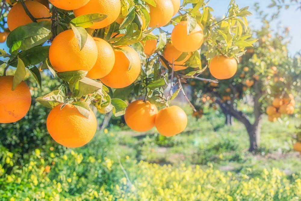 orange trees plantations with fruits