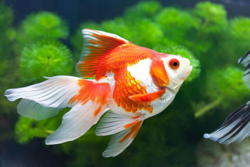 Goldfish are great Pets For Busy People