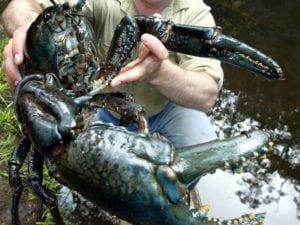 weirdest animals in the world Tasmanian Giant Freshwater Crayfish