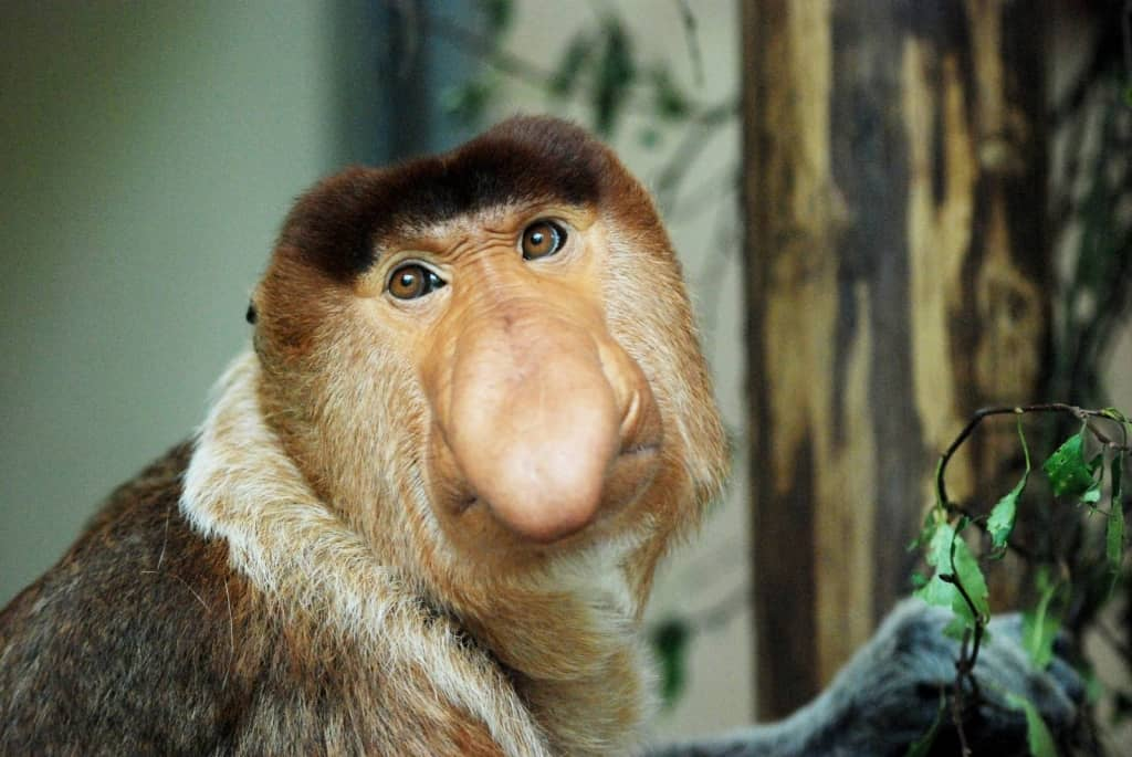 Proboscis Monkey - weirdest animals in the world