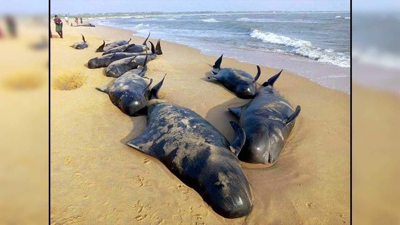 Sperm Whales washing up on a beach is another strange thing found on a beach in Turkey