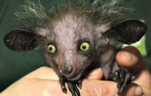 Aye-Aye Weirdest animals in the world