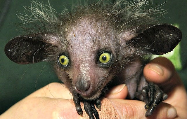 Aye-Aye Weirdest animals in the world