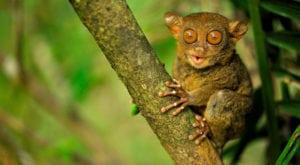 Tarsier- Weirdest animals in the world