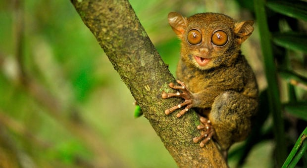Tarsier- Weirdest animals in the world