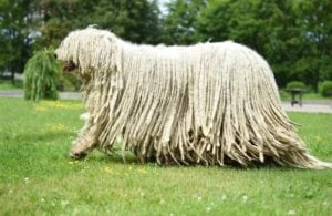 Komondor Dog Weirdest animals in the world