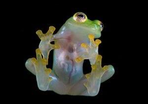 Glass Frog- Weirdest animals in the world