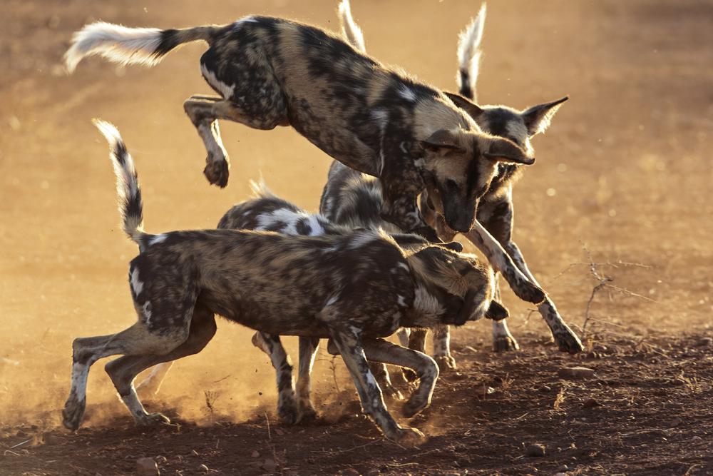 african wild dog endangered species