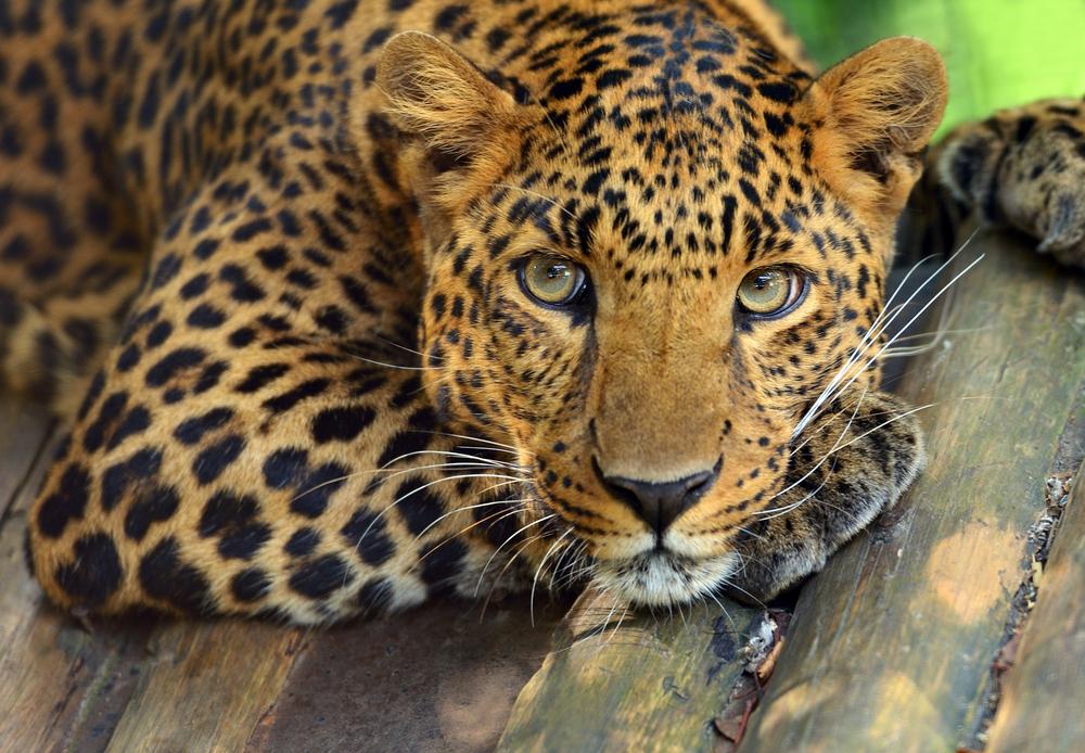 amur leopard species in danger