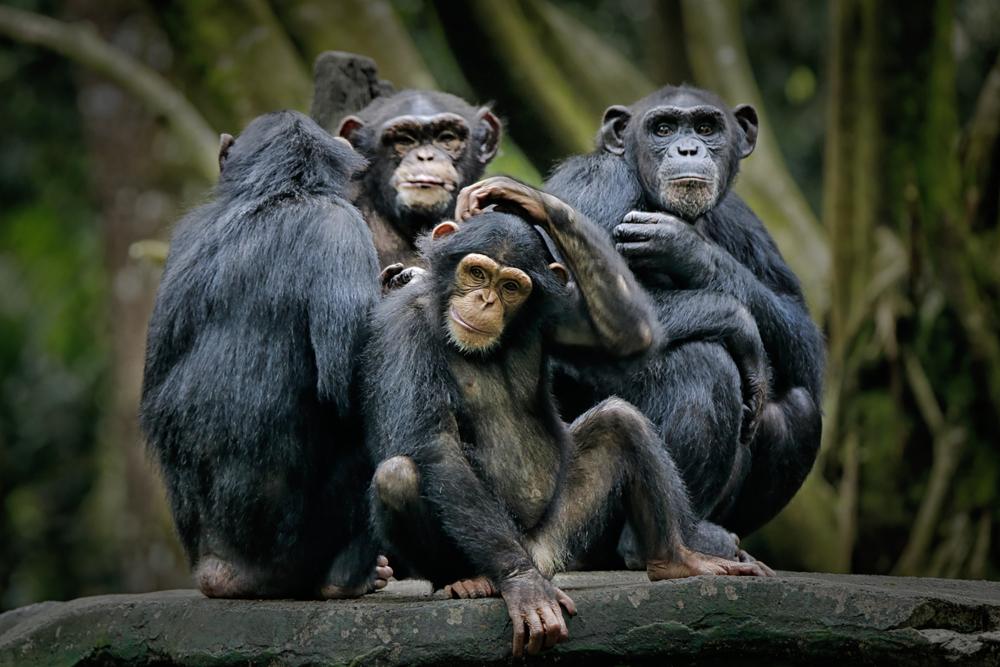 chimpanzee species in danger