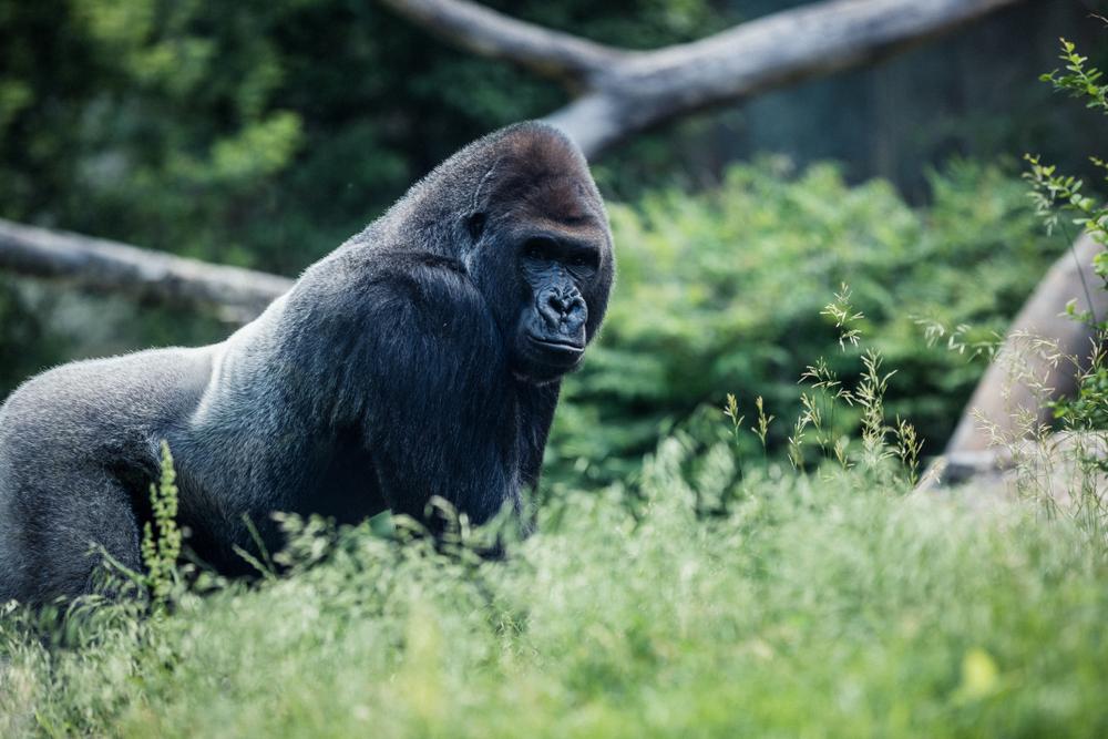 gorilla endangered species