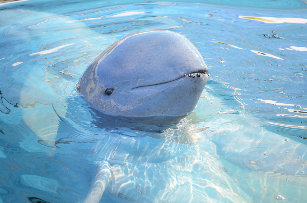 irrawaddy dolphin endangered species