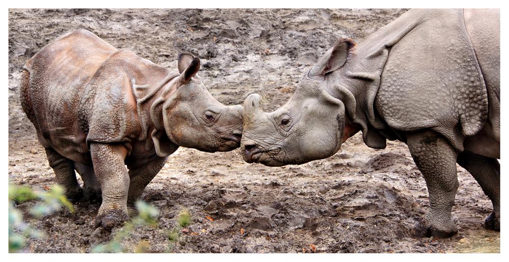 javan rhino species in danger