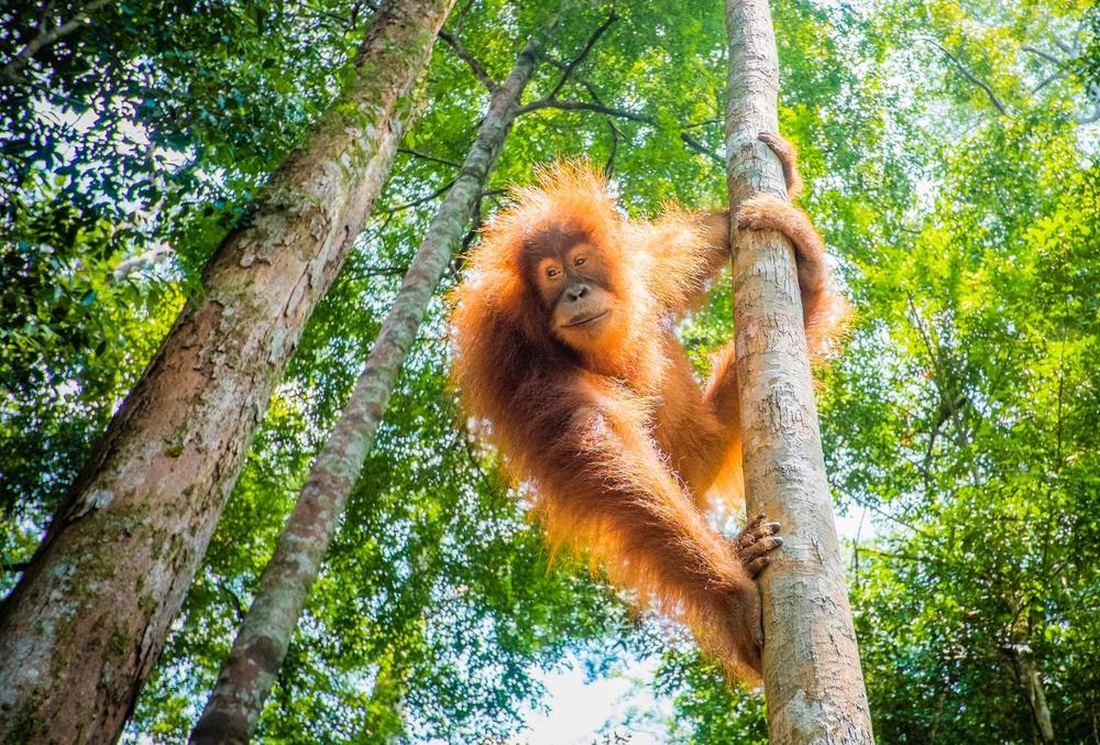orangutan species in danger