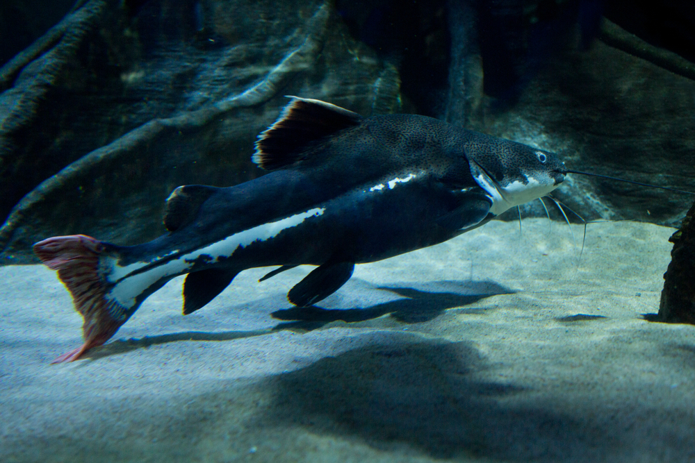 pangasid catfish endangered species