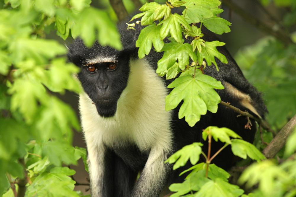 roloway guenon species in danger