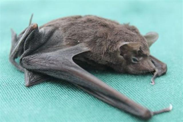 seychelles sheath-tailed bat species in danger