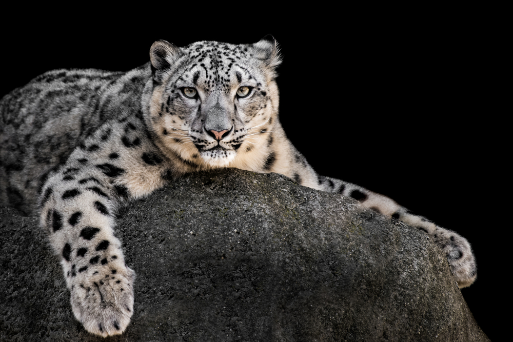 snow leopard species that are endangered