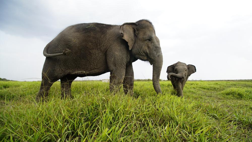 sumatran elephant species facing danger