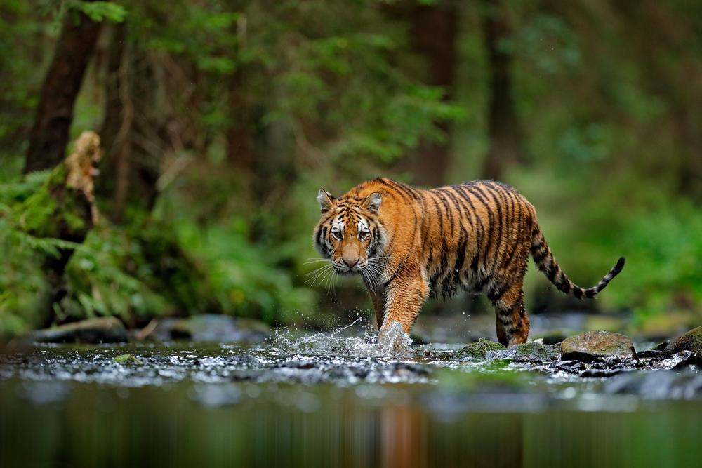 tiger species in danger