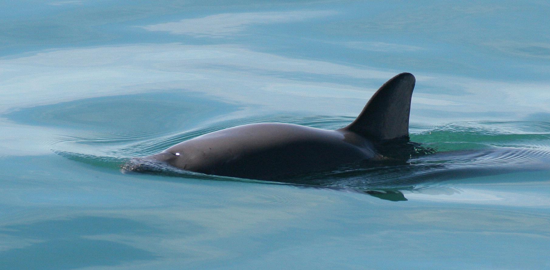 vaquita species in danger