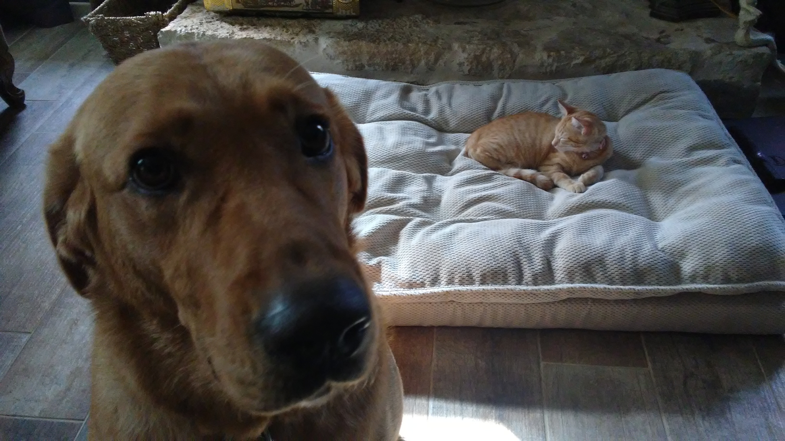 dog with cat in bed
