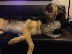 Dog cone, cat on top - sick day