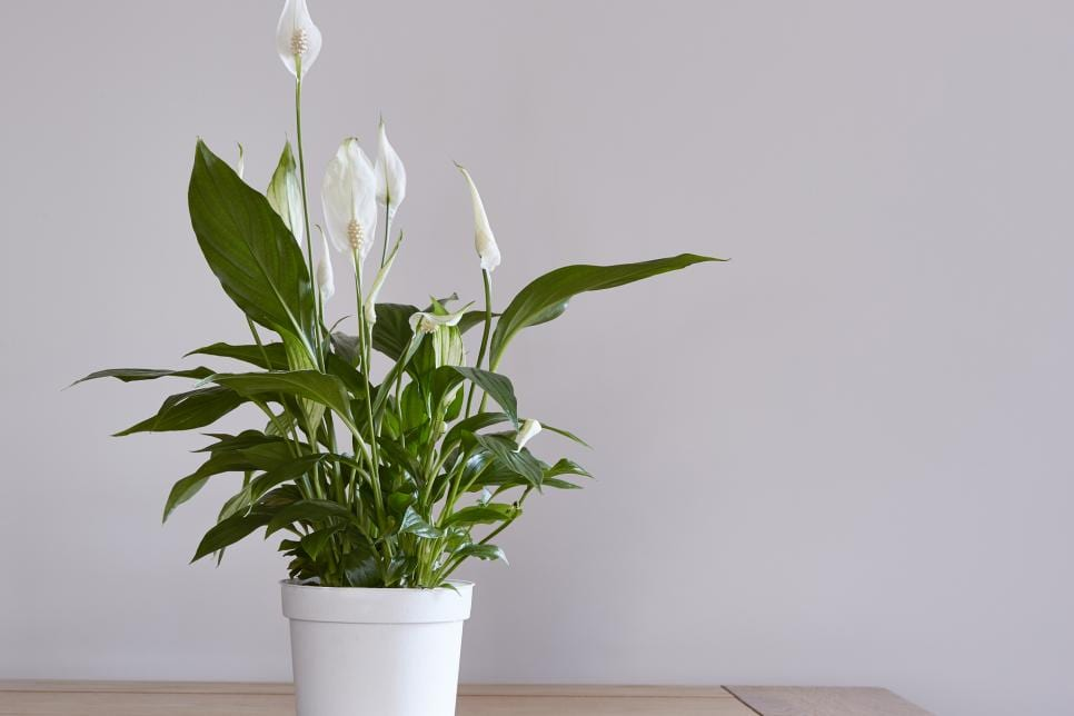 Indoor Plants Peace Lily