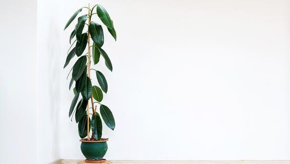 Indoor Plants Rubber Plant