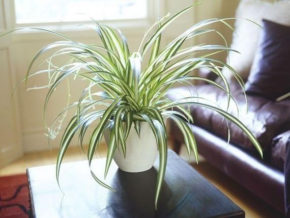 Indoor Plants Spider Plant