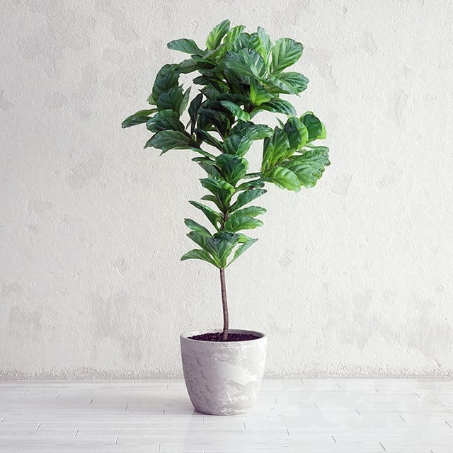Indoor Plants Ficus Tree
