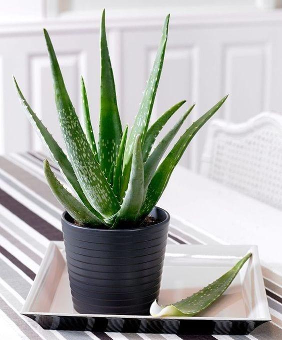 Indoor Plants Aloe Vera Plant