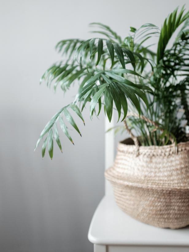 Indoor Plants Bamboo Plam