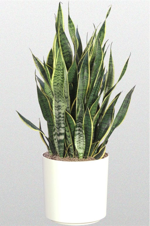 Indoor Plants Snake Plant