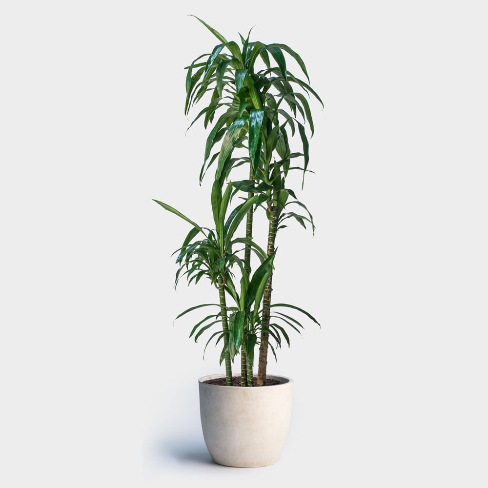 Indoor Plants Dracaena