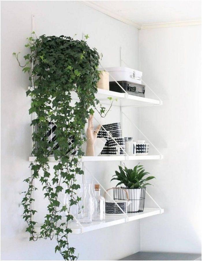 Indoor Plants English Ivy