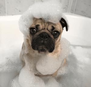 Instagram Pets - Doug The Pug