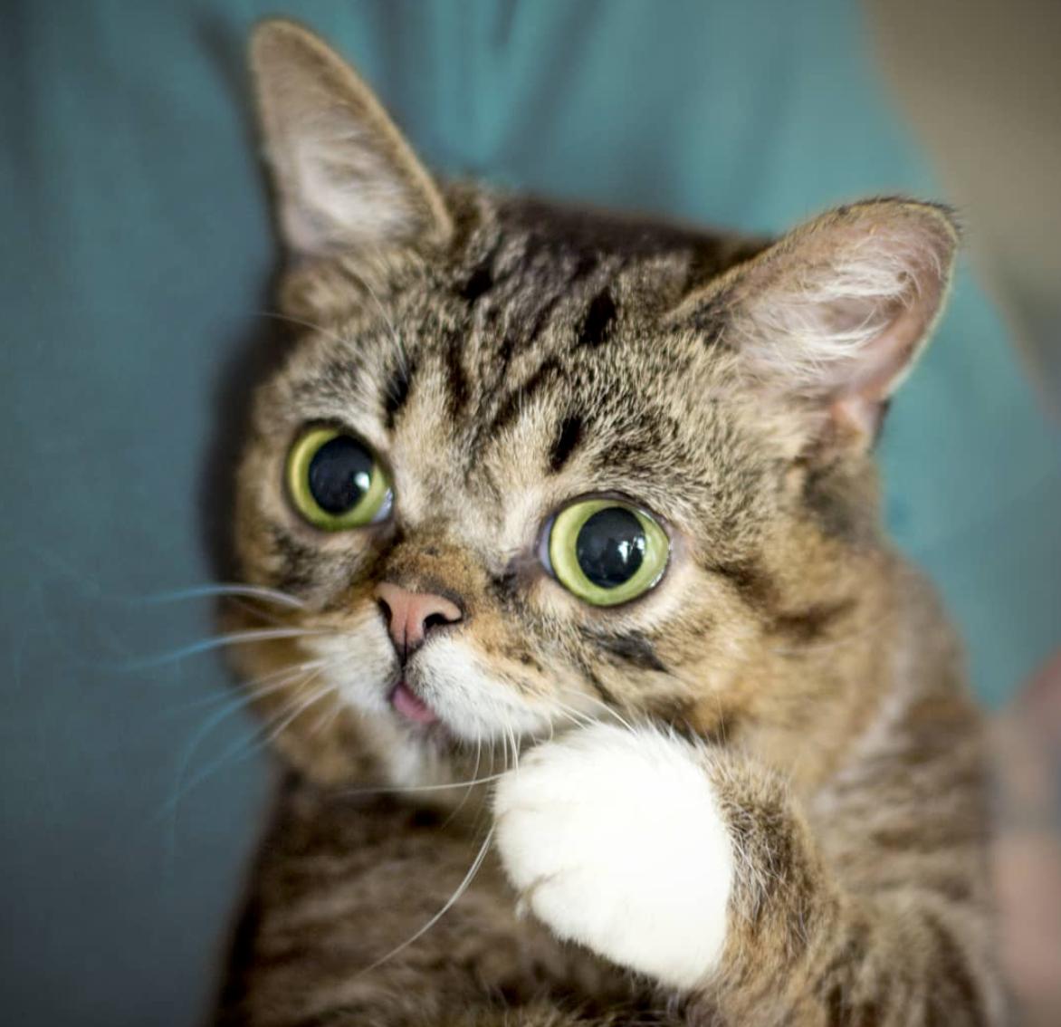 Instagram Peta - Lil Bub