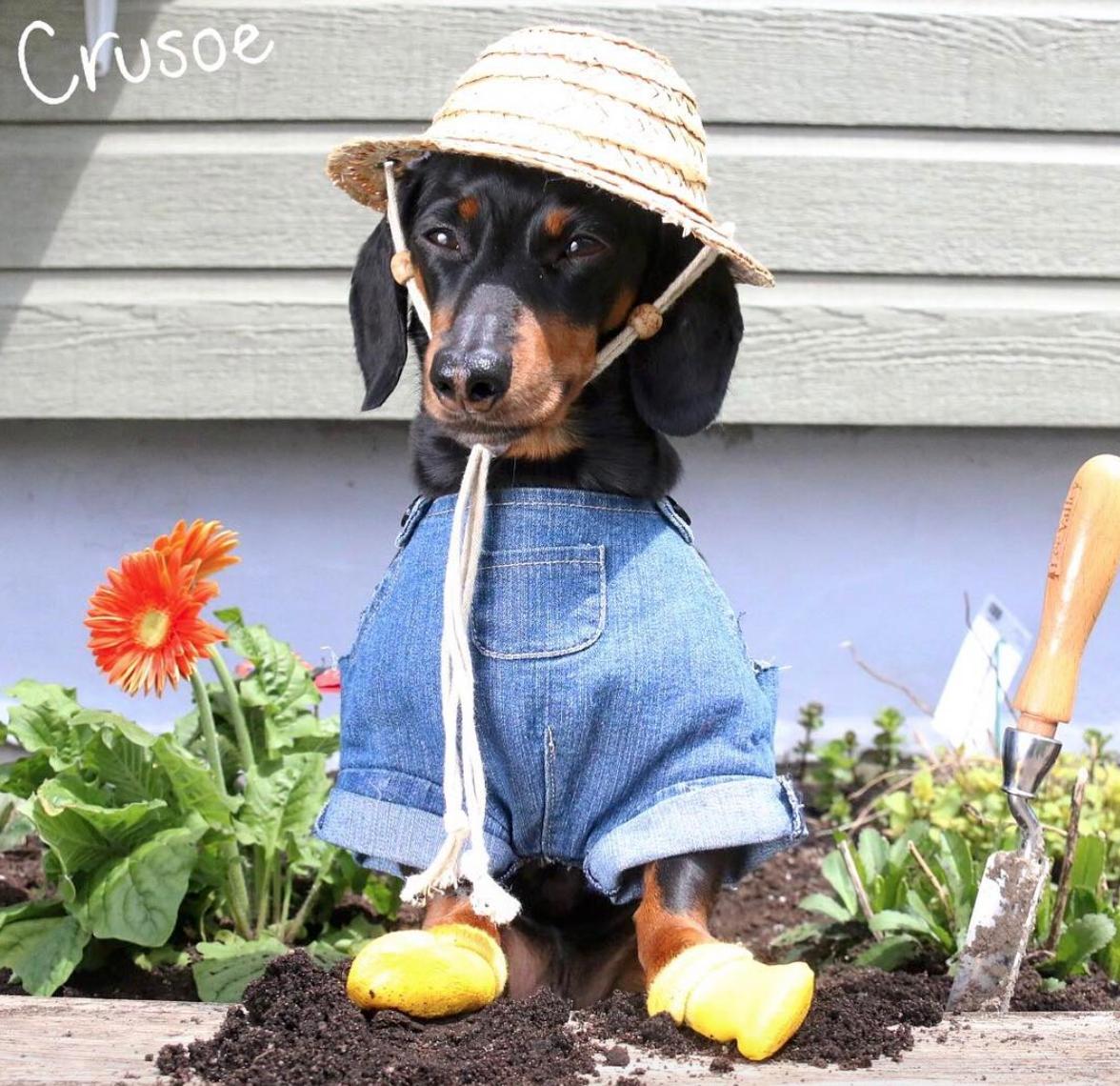 Instagram Pets - Crusoe Dachshund