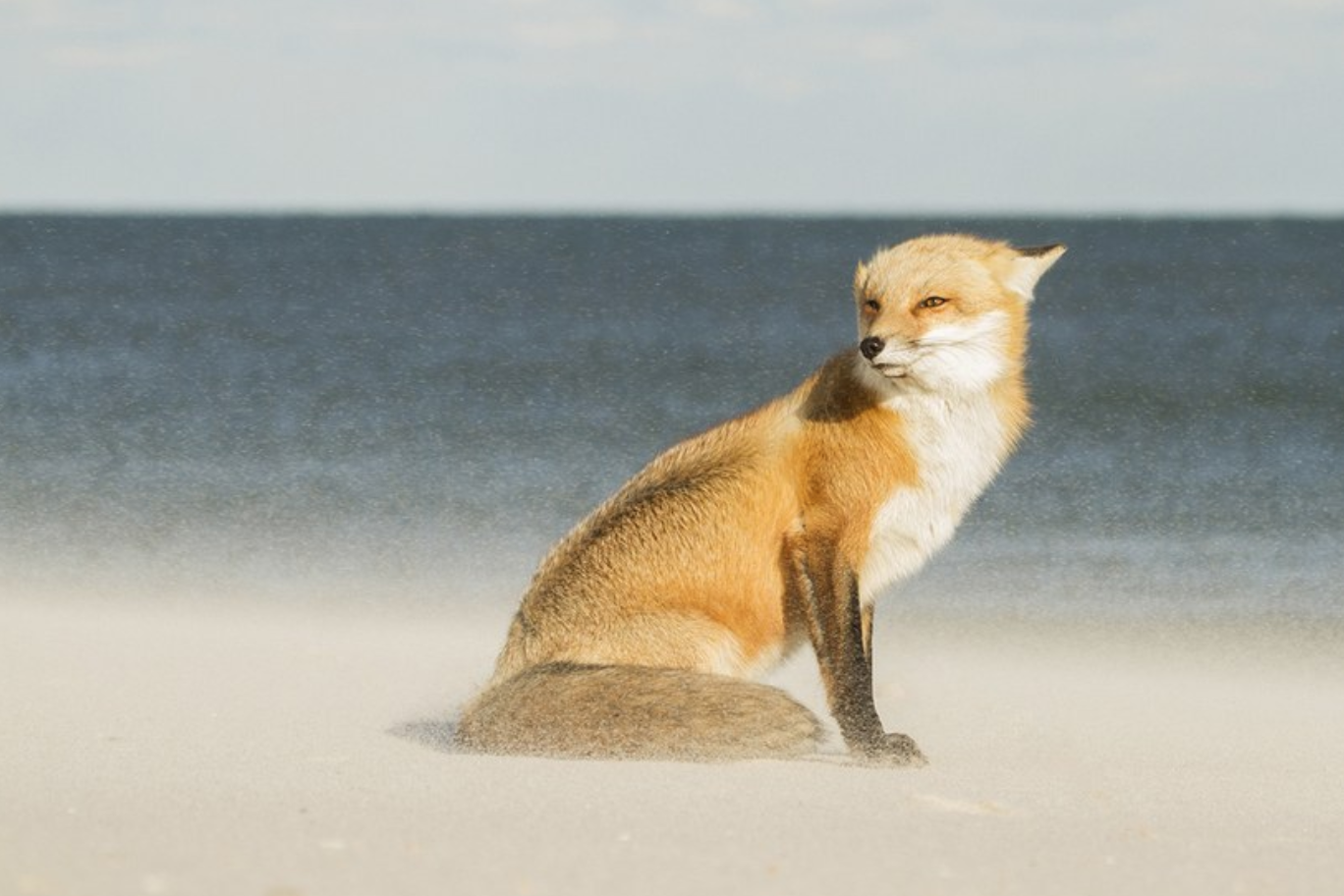 Fox in the wind