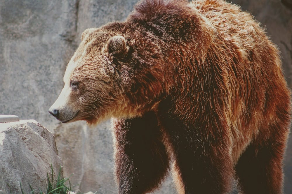 Alaska Cruise Kodiak Brown Bear