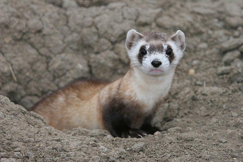best hypoallergenic pets - ferret