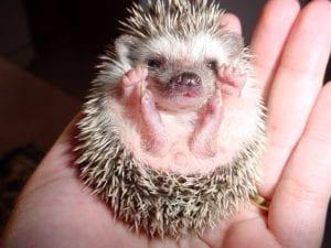 best hypoallergenic pets - hedgehog