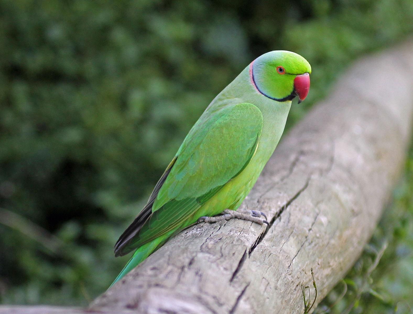 best hypoallergenic pets - parakeet