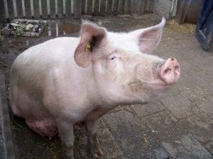 best hypoallergenic pets - pig