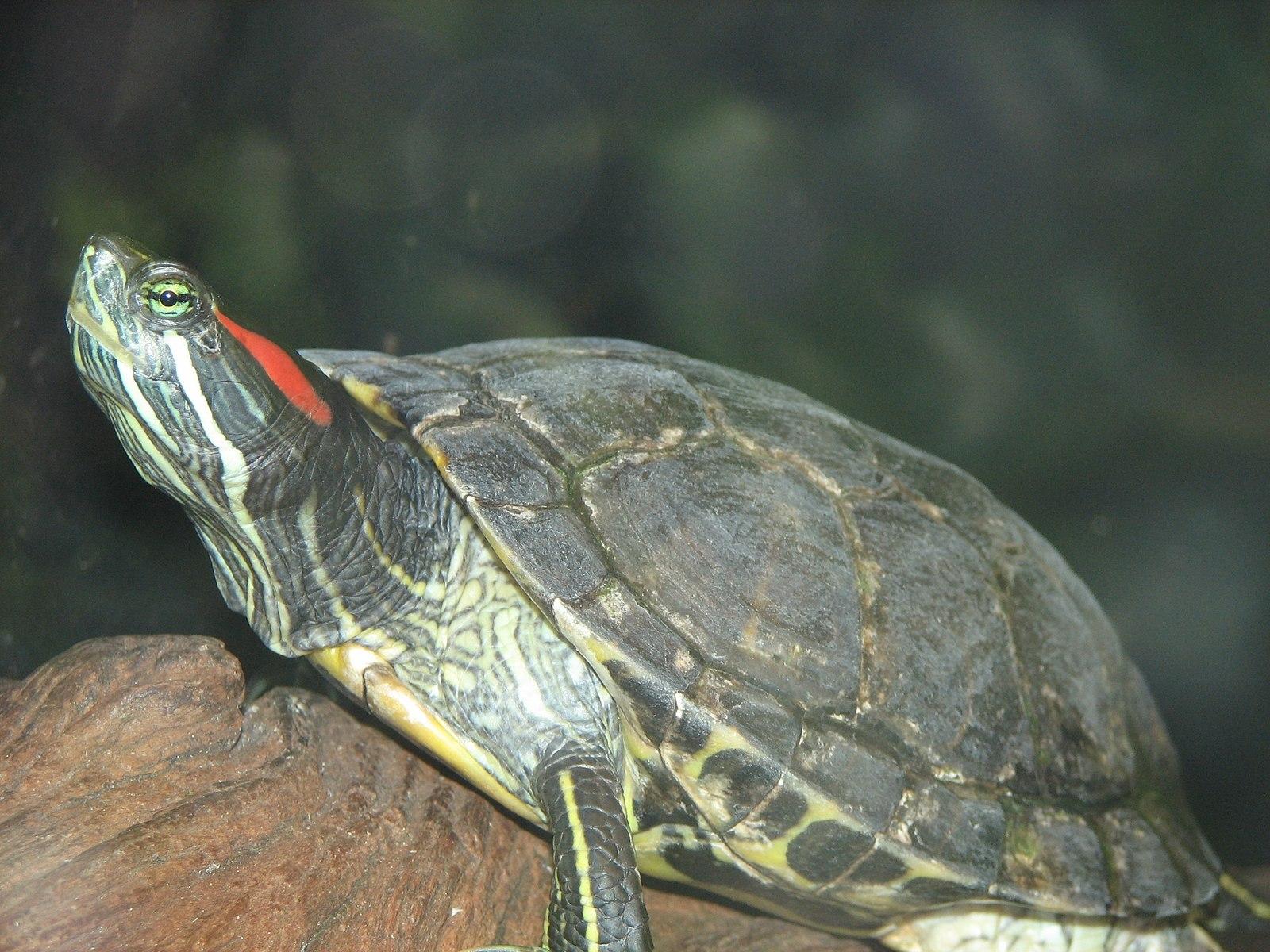 best hypoallergenic pets - turtle