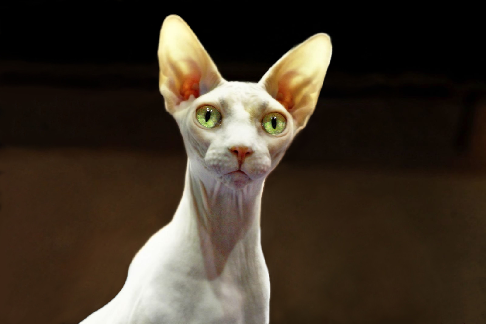best hypoallergenic pets = sphynx cat